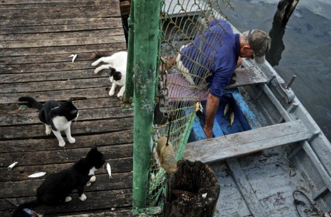 Feral cats crowd a boat in the hopes of receiving scraps from fishermen at a local dock (Photo by Greg Kahn/Getty Images)