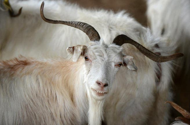 A presumably very fancy goat was sold for a eye-watering $3.5 million to a man from Saudi Arabia. (Getty)