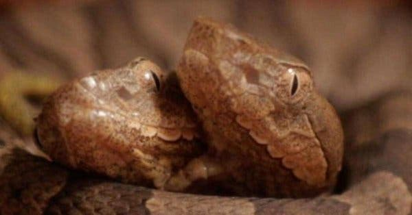 This rare two-headed copperhead snake was donated to a wildlife center (Twitter)