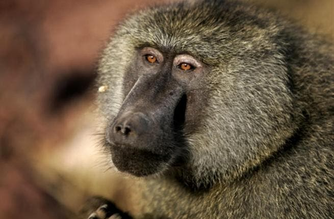 The one-year-old female baboon was brought to the farm by an Iranian who found her in a crippled condition at a farm in Al Ruwaiya