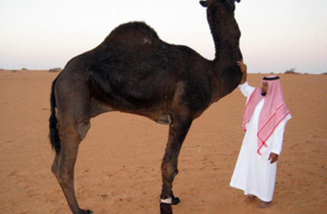 The UAE resident who died of a new SARS-related diease passed away just days after treating a camel for a disease, on of the doctors who treated him has confirmed. (File photo / Al Bawaba)