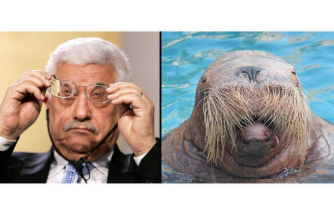 I am the walrus: Can you see the Palestinian President as this flipper mammal? Abbas may not have the tusks or the blubber to serve him in climes colder than historical Palestine, but Abu Mazen is in possession of the whiskers, the stamina and the thick skin to (over) stay in power.