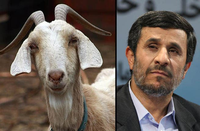 The mischievous goats are always butting heads and running loose. Is Ahmadinejad comparable or is he more of a scapegoat, the blame taker for all of his Supreme Ruler's gaffs? Perhaps there is another animal more suited for Iran's outgoing President. Hyena, I hear you cackle?