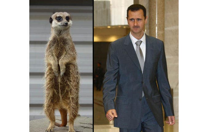 You may have guessed lion, but think again. A meerkat is rather helpless on its own, but these mobbing weasels are always travelling in groups called clans, and then they wreak terrible havoc. Assad serves as the sentry for his mongoose mob, giving directives and keeping them free to do their damage.