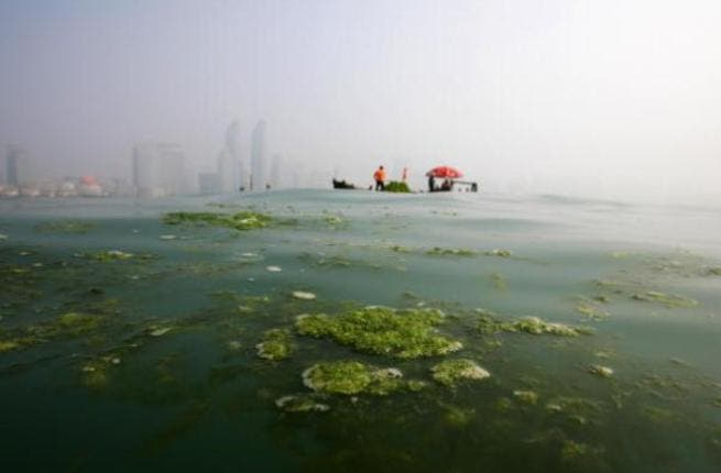 The development of the algae-for-biofuels industry can be used to supplement the growth of the aquaculture industry in the UAE