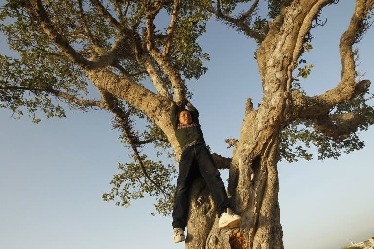 A Palestinian boy plays in an old tree east of Gaza City, near the Israeli border with the Gaza Strip, on April 3, 2013. (AFP PHOTO/MOHAMMED ABED)