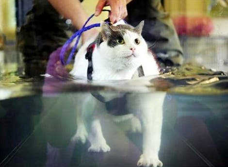In the US, Buddha the fat cat has been trying to lose some weight using an underwater treadmill. Wonder if this Dubai clinic will use such innovative techniques to slim down their portly pets and chubby clientele? (Photo courtesy of HuffPo)