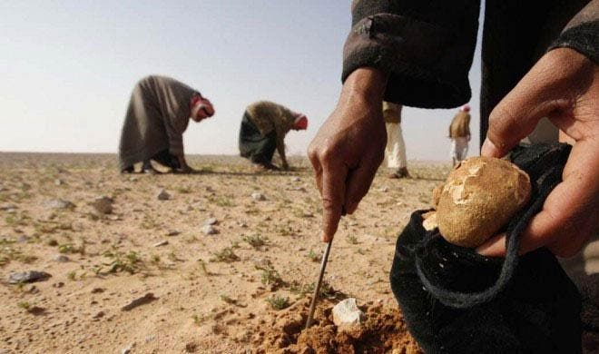 Harvesting tasty truffles. (Photo courtesy of Your Middle East)