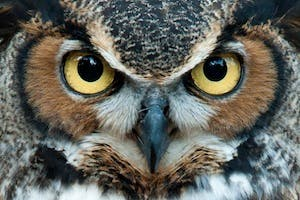 the Omani owl is greyish white with clear, orange eyes and a deep, low-pitched hoot which distinguishes it from the other species. Warning: the owl in this picture is not from Oman. (Image via Shutterstock)