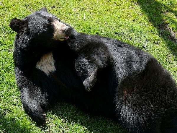 The deadly battle came a month before bear mating season (Photo used for illustrative purposes)
