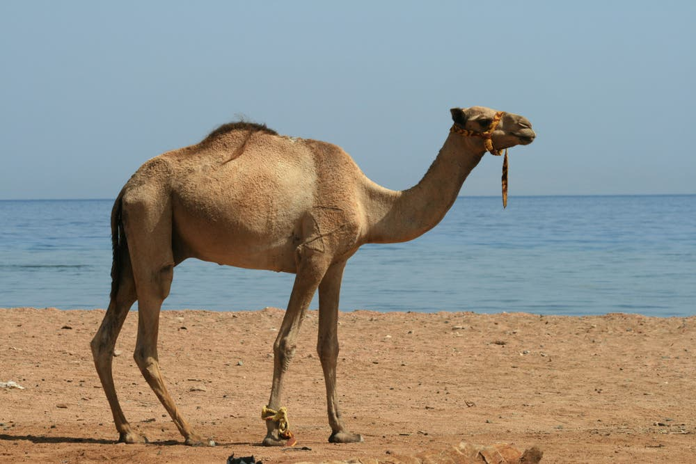 Not the camel in question. A man in Sharjah died after washing his sponsor's camel. (Shutterstock)