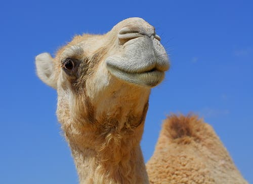 You heard it straight from the camel's teat - the world is going crazy for camel milk! (Shutterstock)