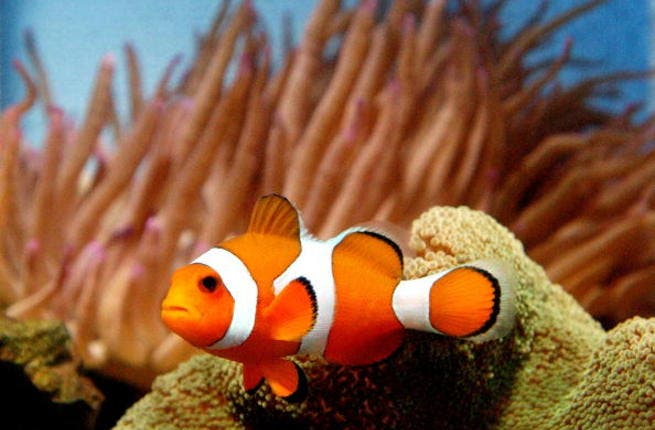 Clown fish are a big pet-hit in the UAE, according to reports on exotic animal-keeping