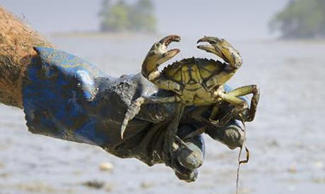 The discovery of invasive green crabs on Egypt's shores in December has been a major concern for local fisherman and the fishing industry in Egypt more broadly (Courtesy of Ahram Online)