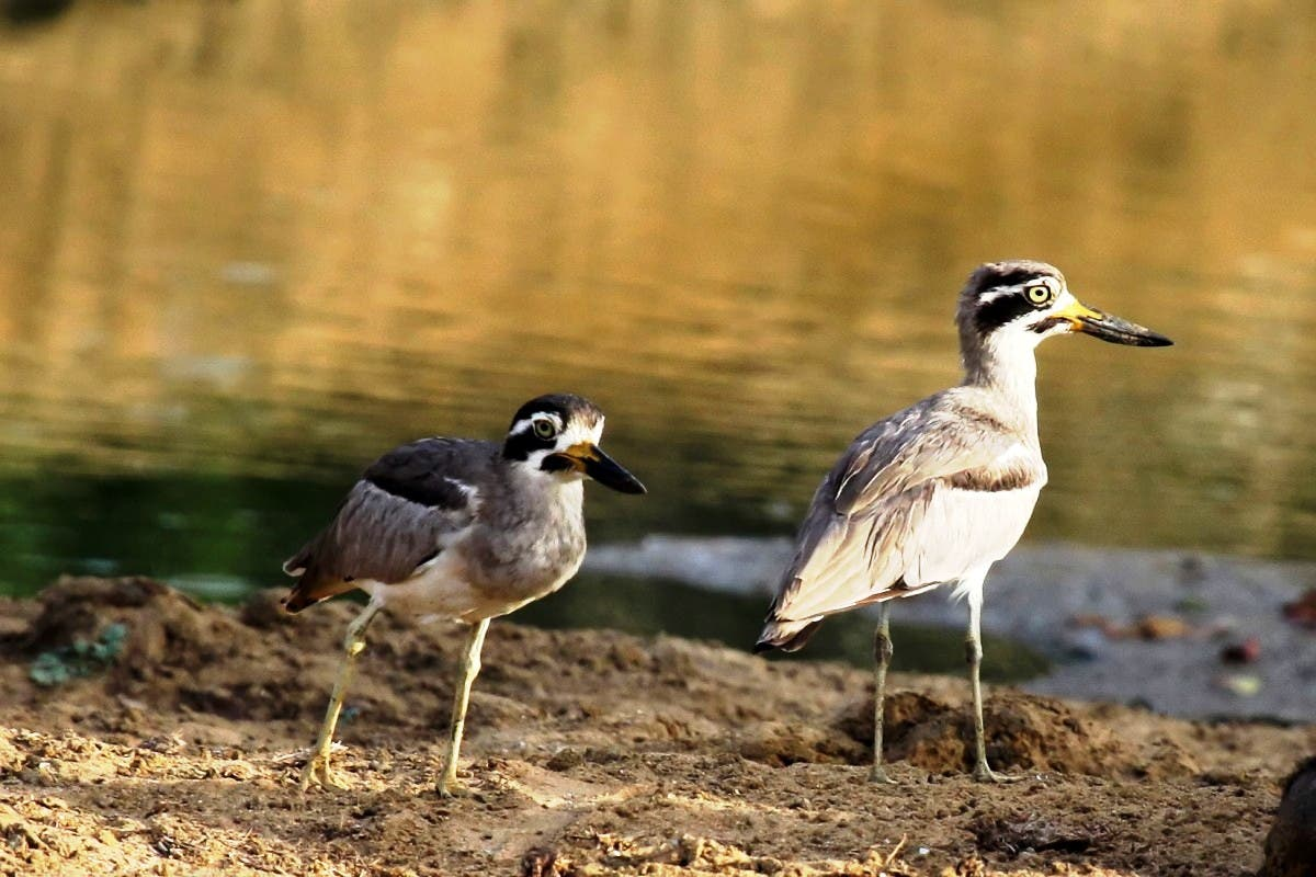 A Great Thick-knee [via Wikipedia]