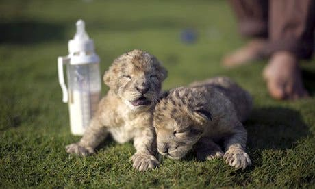 Sadly, these adorable cubs died two days after being born in the blockaded Gaza Strip. (AFP/Getty)