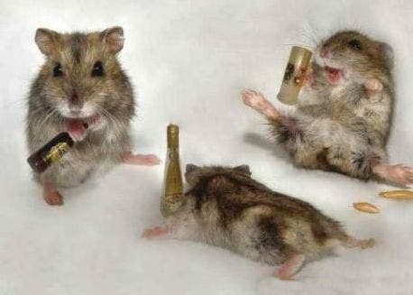 UAE researchers found that panicky or highly stressed mice were much more likely to booze to excess than mice with a calm nature.