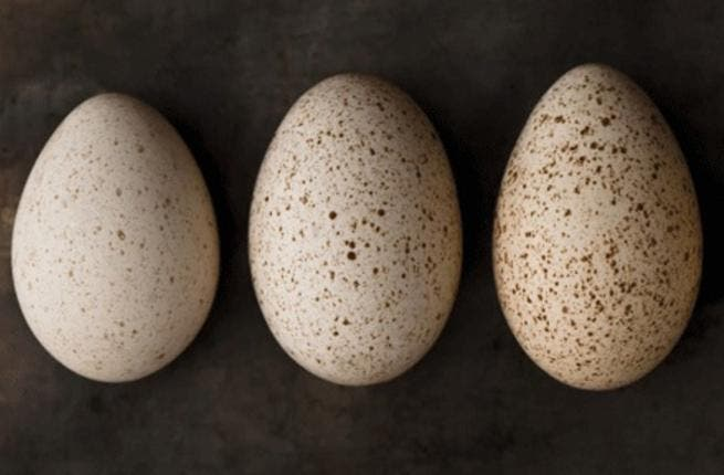Scientists in Dubai have successfully hatched chickens from the eggs of turkeys, guineafowl and ducks