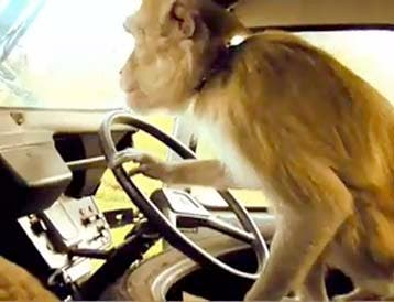Monkeys are notoriously not car shy, as they climb on board at safaris, many families will have experienced a monkey on the dash board.