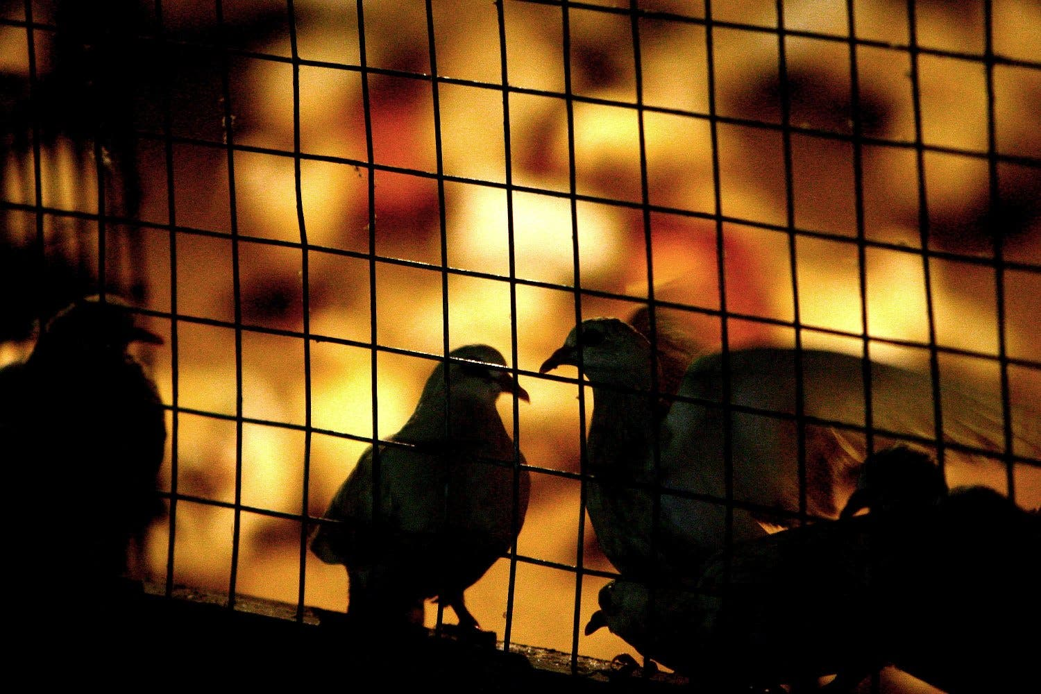An Emirate policeman, whose wife allegedly caught him having sex with his Indonesian housemaid in a pigeon cage, has  denied all charges levelled against him. More recently the Uzbek wife witness has since been cagey about her initial report,  denying her witness charges.