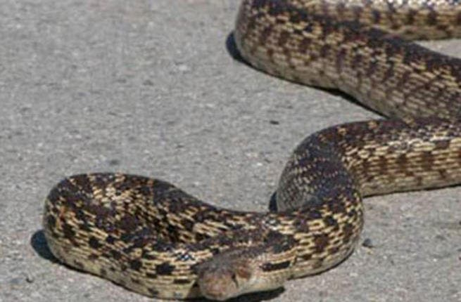 The snake was smuggled on board in a passenger's luggage (Photo: Ahram Arabic News Website)