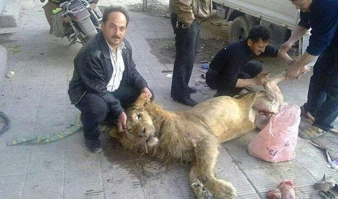 Residents off Ghouta had to slaughter a lion from Al Qarya Al Shama Zoo due to lack of food in the suburb (Courtesy of Your Middle East)