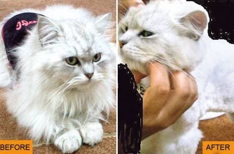 Angry pet-owner in Emirate Umm Al Quwain got less than she bargained for when her cat emerged from the salon with a new bald look.