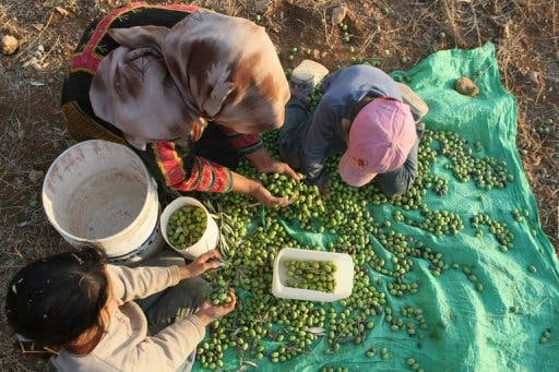 EU decides to postpone the labeling of goods produced in Israeli settlements. Here a family picks olives in the West Bank.