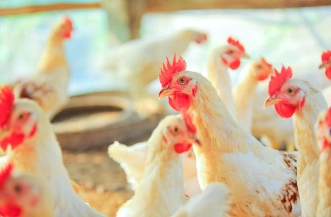 Who fine is your feathered friend? Saudi farmers will decide this Friday in Riyadh's chicken beauty pageant (Shutterstock)