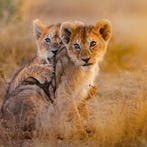 A group of cheetahs, lion cubs, and snow foxes were on sale for Dh5,000 each. (Shutterstock)