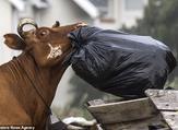قطيع من البقر يغزو قرية في جنوب إفريقيا