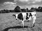 ما تفسير الحلم ببقرة في المنام؟