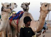 Thousands of camels on display in Saudi Arabia in world's biggest camel festival. (AFP/File)