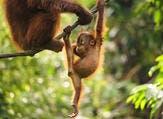 Baby Orangutan (Shutterstock)