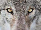 الذئاب هي حيوانات ذكية مفترسة منظمة وذات سرعة بديهية عالية