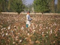 A Uzbekistan's cotton grower looks on as she works in a cotton plantations outside Tashkent, on October 24, 2019. A small revolution is taking shape in Uzbekistan: the State wants to eradicate forced labour in its cotton industry, after having, for decades, forced hundreds of thousands of Uzbeks to work during the harvest. Yuriy KORSUNTSEV / AFP