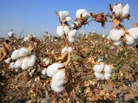 A picture taken on October 24, 2019 shows a cotton plantations outside Tashkent. A small revolution is taking shape in Uzbekistan: the State wants to eradicate forced labour in its cotton industry, after having, for decades, forced hundreds of thousands of Uzbeks to work during the harvest. Yuriy Korsuntsev / AFP