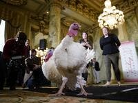 Bread and Butter, the National Thanksgiving Turkey and its alternate, are shown to members of the media during a press conference held by the National Turkey Federation November 25, 2019 at the Willard Hotel in Washington, DC. AFP