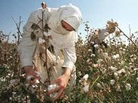 A small revolution is taking shape in Uzbekistan: the State wants to eradicate forced labour in its cotton industry, after having, for decades, forced hundreds of thousands of Uzbeks to work during the harvest (Twitter)