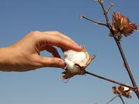 A hand touches a boll of ripe cotton, Uzbekistan (Shutterstock)