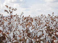 The cotton field under a blue cloudy sky (Shutterstock)