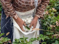 Cotton harvesting. A woman collecting cotton  (Shutterstock)