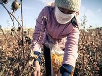 Labour in Uzbekistan cotton fields (Twitter)