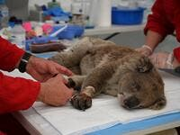 An injured Koala is being treated for burns by a vet at a makeshift field hospital at the Kangaroo Island Wildlife Park on Kangaroo Island on January 14, 2020. Hundreds of koalas have been rescued and brought to the park for treatment after bushfires ravaged the island off the south coast of Australia. PETER PARKS / AFP