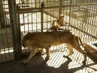 Malnourished lion and lioness rest in its cages after receiving treatment at al-Qureshi park in the Sudanese capital Khartoum on January 23, 2020. ASHRAF SHAZLY / AFP