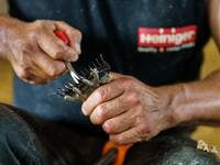 A Uruguayan sheep shearer changes his blade as he works at a cattle farm in Villabraz in the province of Leon in northern Spain on May 15, 2020. Some 258 Uruguayan shearers arrived in Spain on a plane from Montevideo this week to participate in a campaign in different parts of Spain. They underwent check-ups for the novel coronavirus before leaving Uruguay and before starting work in Spain where they will stay until July 20. CESAR MANSO / AFP