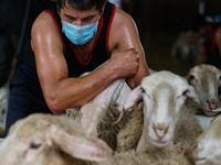 A Uruguayan sheep shearer works at a cattle farm in Villabraz in the province of Leon in northern Spain on May 15, 2020. Some 258 Uruguayan shearers arrived in Spain on a plane from Montevideo this week to participate in a campaign in different parts of Spain. They underwent check-ups for the novel coronavirus before leaving Uruguay and before starting work in Spain where they will stay until July 20. CESAR MANSO / AFP