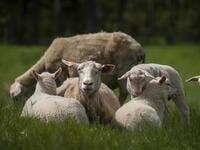 "Sheeps are seen on the meadow of Sylwia Szlandrowicz and Ruslan Kozynko farm "" Frontiera Ranch"" in the Masuria - polish lake region, May 15, 2020. The sheep and cows are in the meadow, the cheese is ripening in a room on the ground floor -- just the kind of scene attracting increasing numbers of Polish cityslickers away from the urban jungle. Wojtek RADWANSKI / AFP"