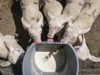 "Lambs are seen during feeding time in Sylwia Szlandrowicz and Ruslan Kozynko farm "" Frontiera Ranch"" in the Masuria - polish lake region, May 15, 2020. The sheep and cows are in the meadow, the cheese is ripening in a room on the ground floor -- just the kind of scene attracting increasing numbers of Polish cityslickers away from the urban jungle. Wojtek RADWANSKI / AFP"