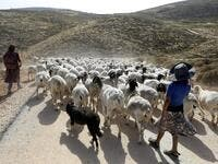 Young women walk a herd of sheep belonging to settlers from a nearby outpost of Itamar settlement, southeast of the Palestinian city of Nablus, on June 8, 2020 in the occupied West Bank. The government of Israeli Prime Minister Benjamin Netanyahu has said it could begin the process to annex Jewish settlements in the West Bank as well as the strategic Jordan Valley from July 1. The plan -- endorsed by Washington -- would see the creation of a Palestinian state, but on reduced territory, and without Palestini
